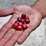 Monteverde coffee tour