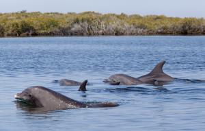 Delfines nariz de botella, Bahía Magdalena. (Foto: Claudio Contreras-Koob)