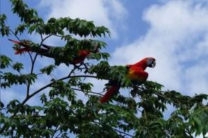 Solo Oaxaca y Chiapas son los estados en donde son halladas guacamayas rojas en libertad. Pronto también Veracruz.