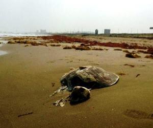 Hallan restos de tortuga Carey en Coatzacoalcos.