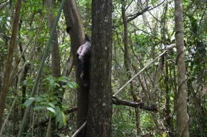 La mamá mono identificó a su cría desde lo alto del árbol. Y bajó venciendo sus miedo para recuperarla.