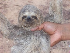 Baby Sloths image