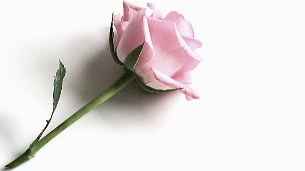 Rose et douceur