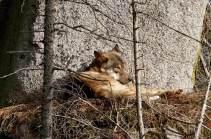 Pan vlk