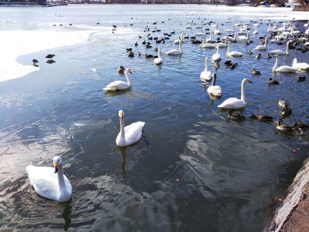 盛岡高松の池岩手山と白鳥