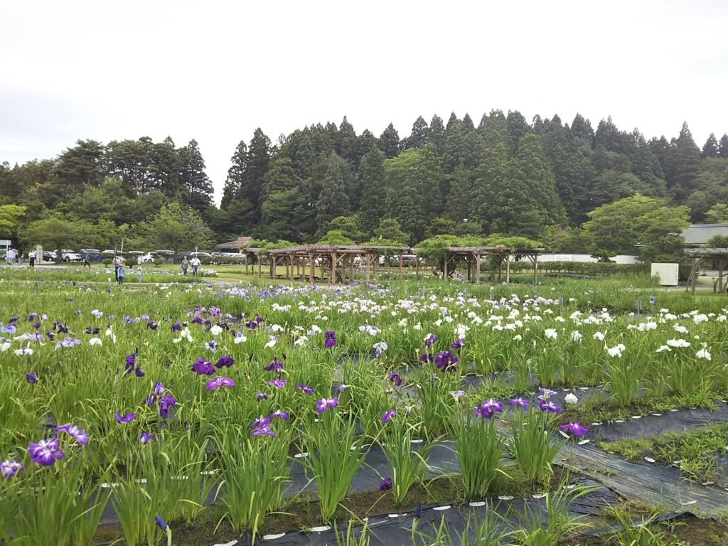 秋田市小泉潟公園菖蒲園