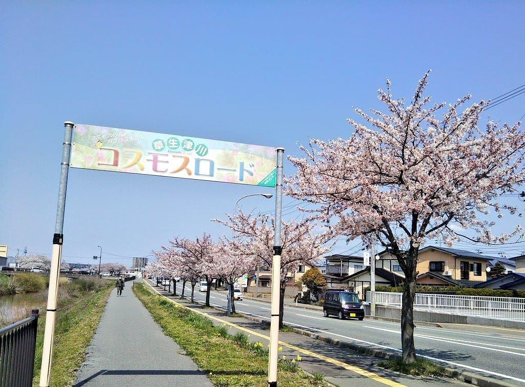 秋田市草生津川の桜2020年4月17日の開花状況