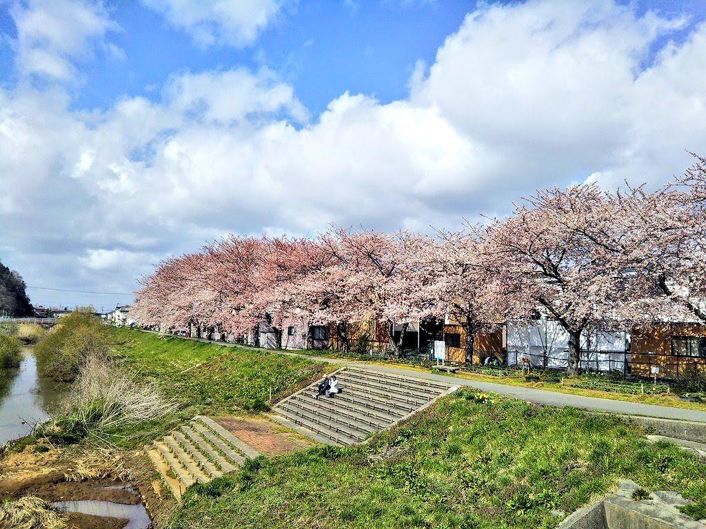 秋田市草生津川の桜2020年4月14日の様子