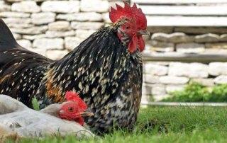 The Swan Inn Swinbrook Chickens