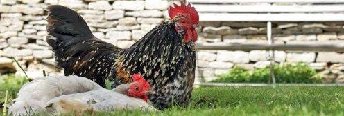 The-Swan-Swinford Chickens