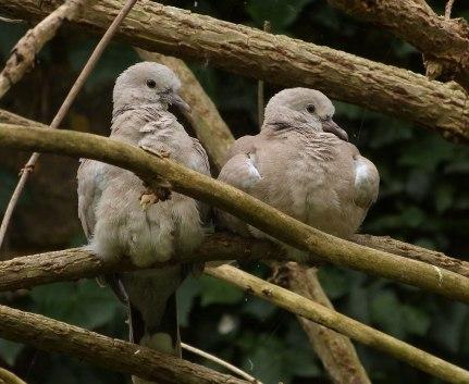 Collared Dove (John Grearson)