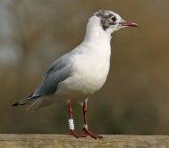 Black headed Gull (John Grearson)