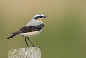 Wheatear (Dave Collins)