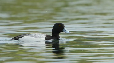 Scaup (Dave Soons)