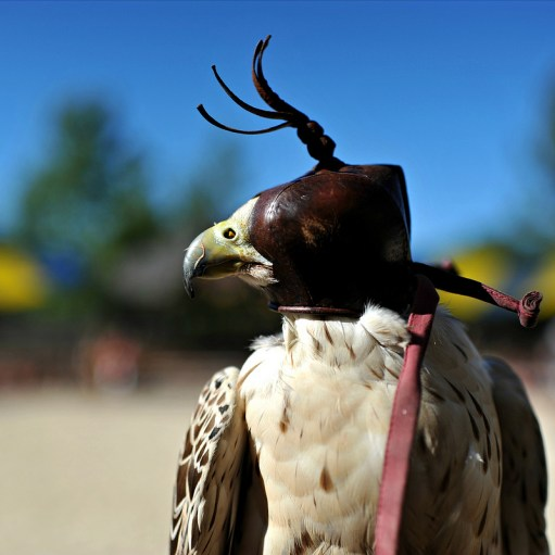 Photo credit: 'Poppin' a Falcon' - Viewminder via Foter.com / CC BY-NC-ND Original image URL: https://www.flickr.com/photos/light_seeker/7721871138/