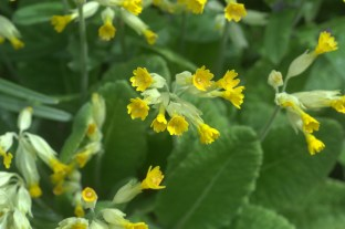 Photo credit: Cowslips jackharrybill via Foter.com / CC BY-NC-SA Original image URL: https://www.flickr.com/photos/jack-harry-bill/4565484940/