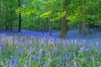 Bluebell Woods, Hertfordshire