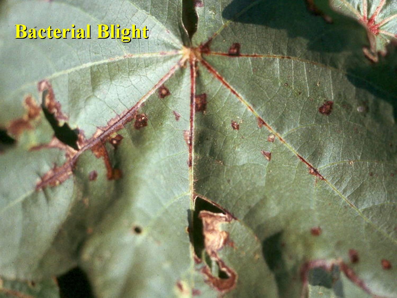 Cotton Disease Photos