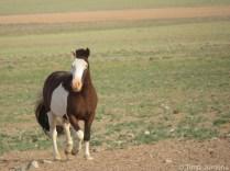 Horse Gobi desert Mongolia