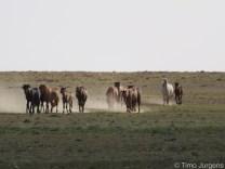 Horses Gobi Desert Mongolia