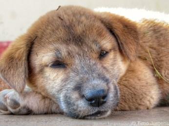Cute puppy Myanmar