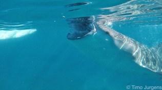Mouth of whaleshark Oslob Cebu Philippines