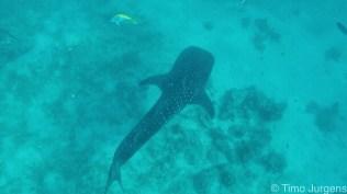 Oslob whalesharks Cebu Philippines