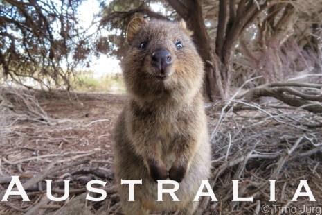 Curious Quokka on Rottnest Island - Western Australia