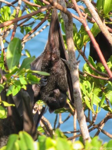 Yardie Creek Bat