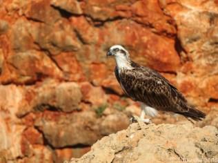 Yardie Creek Eagle