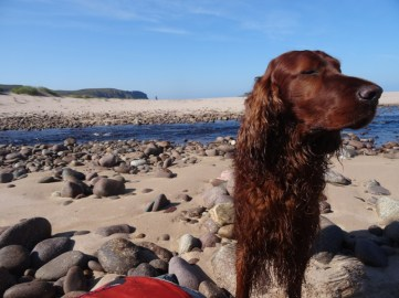 Merlin snoozing (upright) in the sun. Nice shot of the beach and Am Buachaille in the background.