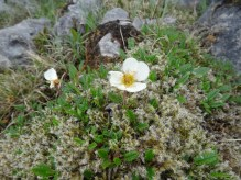 Mountain Aven (Dryas octapetala)