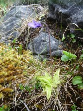 A butterwort. Out of focus and very common but I couldn't resist taking a picture of one as they were one of the first flowers I learnt here.