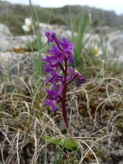 A heath fragrant orchid?