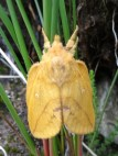 I think this is a female Drinker moth (Euthrix Potatoria).