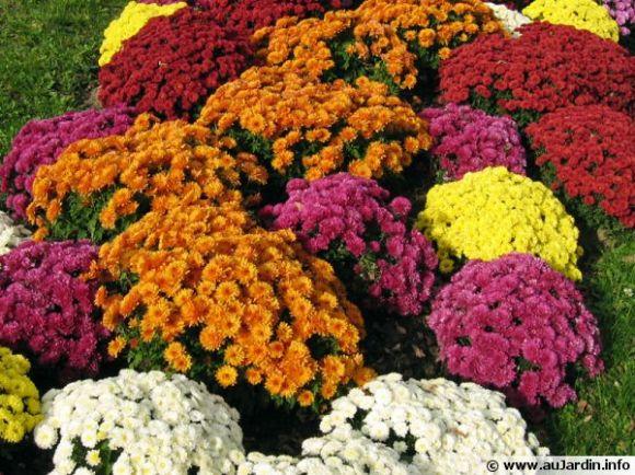 chrysanthemum-hortorum-600x450
