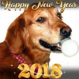Golden Retriever Abigail Hope on 2018 New Year