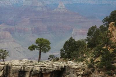 Grand Canyon National Parc - Végétation de pins et autres épineux