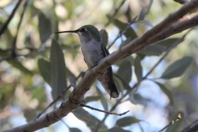 Oiseaux-mouches : vous avez le temps de les admirer dans leur grande volière.