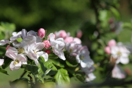 Apple Blossom 04
