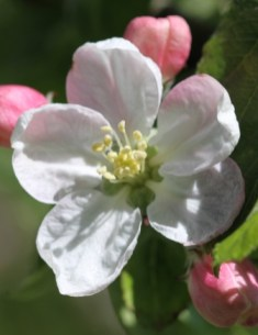 Apple blossom 05