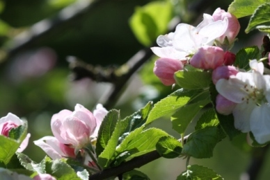 Apple Blossom 06