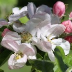 Apple Blossom Thumbnail