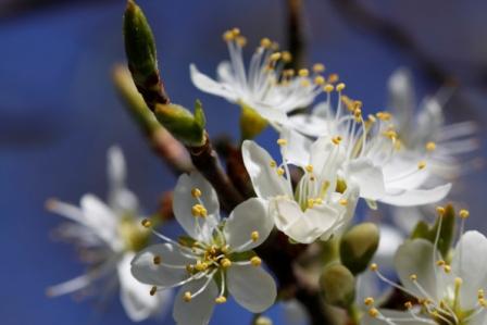 Damson Blossom1