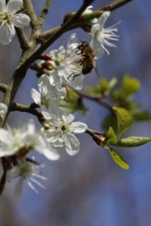 Damson Blossom3