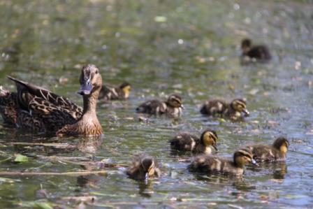 Ducklings 01