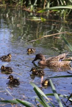 Ducklings 02