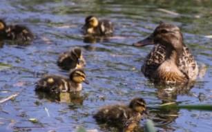 Ducklings 05
