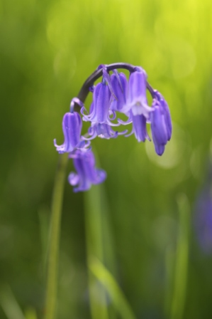 English Bluebells have narrow tubular flowers