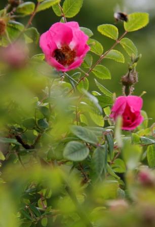 Shrub Rose 01